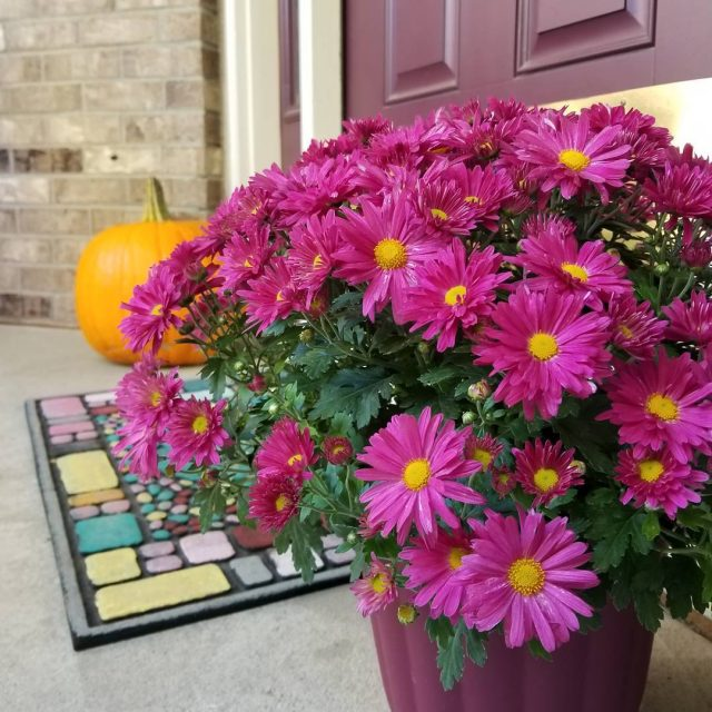 These are the most vibrant beautiful mums Ive ever seen!hellip