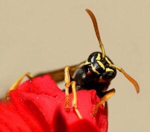 asshole wasp